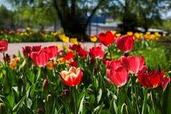 红色郁金香在公园 库存照片