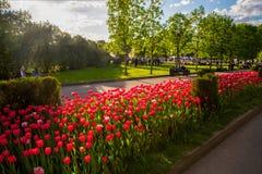 红色郁金香在公园 免版税库存图片