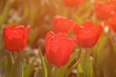 红色郁金香在公园 免版税库存照片