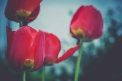 红色郁金香在减速火箭的庭院里 免版税图库摄影