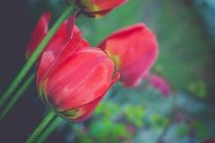 红色郁金香在减速火箭的庭院里 库存图片