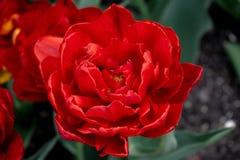 红色郁金香在城市公园 免版税库存照片