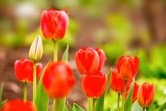 红色郁金香在庭院的春天 图库摄影