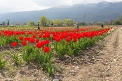 红色郁金香在庭院里在春天 库存图片