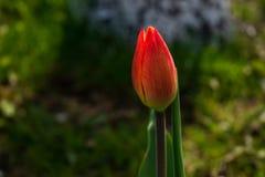 红色郁金香在庭院里 库存图片