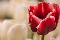 红色郁金香在庭院里 免版税图库摄影