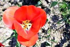 红色郁金香在庭院里 免版税库存照片