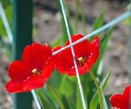 红色郁金香在庭院里 免版税库存图片