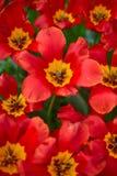 红色郁金香在庭院里 库存照片