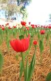 红色郁金香在托儿所 库存图片