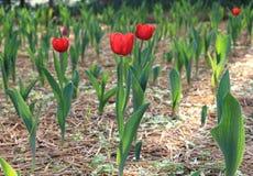 红色郁金香在托儿所 免版税库存照片