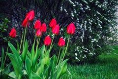 红色郁金香在春天的庭院里 免版税库存照片