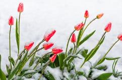 红色郁金香在春天被盖的冷的雪开花 库存图片