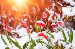 红色郁金香在春天被盖的冷的雪开花 免版税库存图片