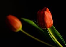 红色郁金香在晚上 免版税图库摄影
