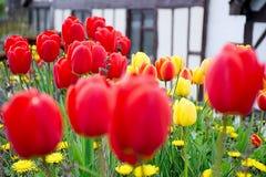红色郁金香在村庄庭院,迷离里 库存照片