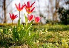 红色郁金香在绿色草甸 免版税库存照片
