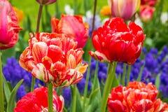 红色郁金香在花园, Kukenhof,荷兰里 图库摄影