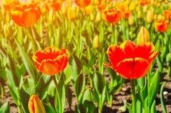红色郁金香在绿草背景的公园  图库摄影