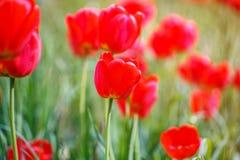 红色郁金香域 图库摄影