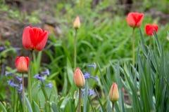 红色郁金香好看照片在庭院里 库存照片