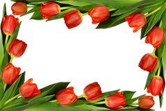 红色郁金香开花框架 库存图片