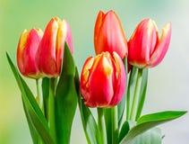 红色郁金香开花,花束,植物布置,关闭,绿色bokeh背景 免版税库存照片