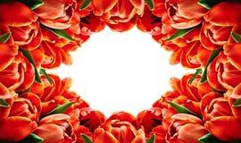 红色郁金香开花水平的框架 免版税库存照片