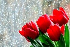 红色郁金香有湿窗口背景 图库摄影