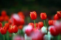 红色郁金香有美好的花束背景 郁金香 美丽的b 免版税库存照片