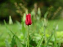 红色郁金香有blured背景 库存图片