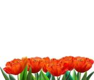 红色郁金香横幅 免版税库存图片