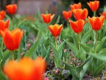 红色郁金香球状药草Kaufmanniana在复活节时间的花床上 免版税库存照片