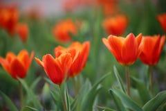 红色郁金香球状药草Kaufmanniana在花床上 库存照片