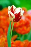 红色郁金香白色 库存照片