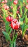 红色郁金香的域 图库摄影