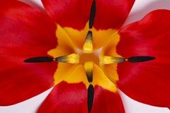 红色郁金香的瓣 库存图片
