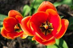 红色郁金香的被张开的芽 郁金香花在春日领域 免版税库存照片
