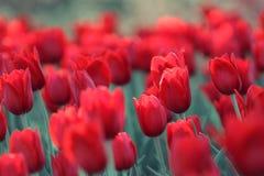 红色郁金香的领域在树的阴影的 免版税库存图片