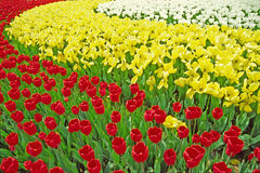 红色郁金香空白黄色 免版税库存照片