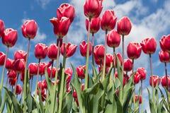 红色郁金香美丽的花束在春天的 免版税库存图片