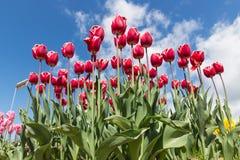 红色郁金香美丽的花束在春天的 免版税库存照片