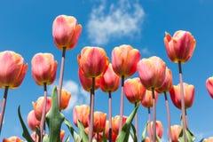 红色郁金香美丽的花束在春天的 库存照片