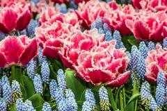 红色郁金香花关闭,庭院, Kukenhof,荷兰 库存图片