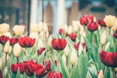 红色郁金香花在庭院里 免版税图库摄影