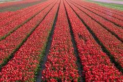 红色郁金香花床  库存图片
