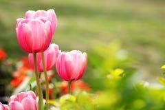 红色郁金香花有绿色背景 免版税库存照片