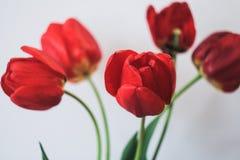 在花瓶的红色郁金香 库存照片
