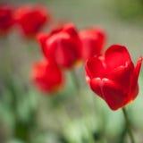 红色郁金香花自然背景  免版税库存照片