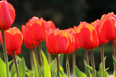红色郁金香芽 库存图片